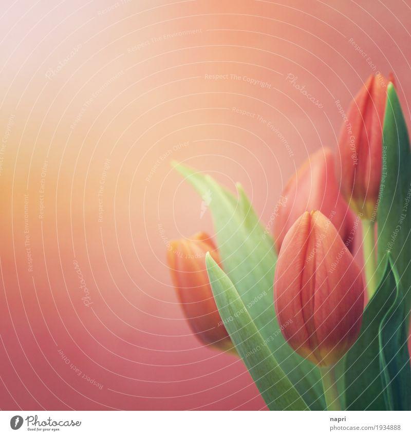 OHrange Zeiten Frühling Blume Tulpe Blüte orange Frühlingsgefühle Farbe Kommunizieren leuchtende Farben Sonnenstrahlen Blumenstrauß Gruß Ostern grün Farbfoto