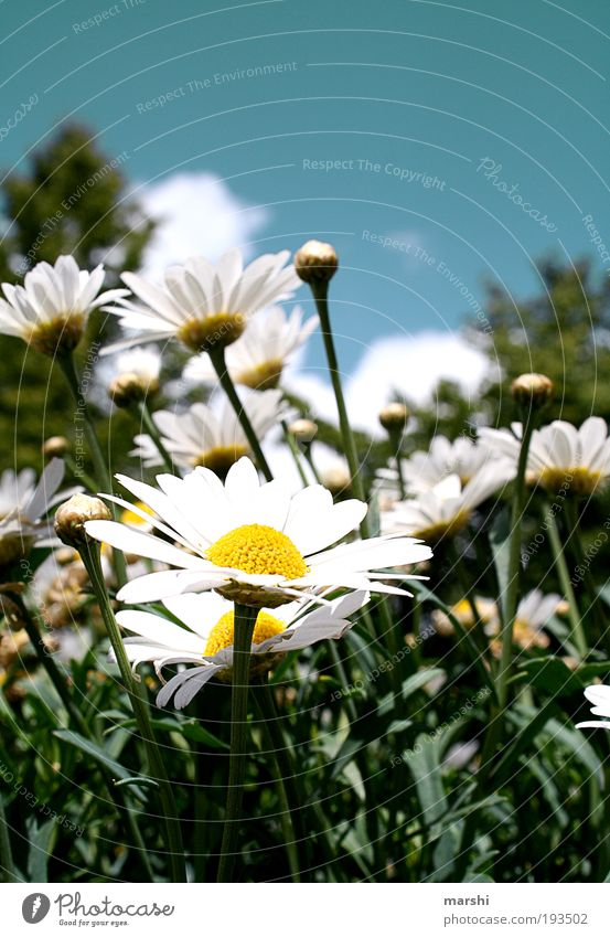streckt eure Köpfe Natur Himmel Pflanze Gras Blüte Park Wiese blau gelb grün weiß Frühling Frühlingsblume Margerite Jahreszeiten Blütenknospen Blatt Sonne