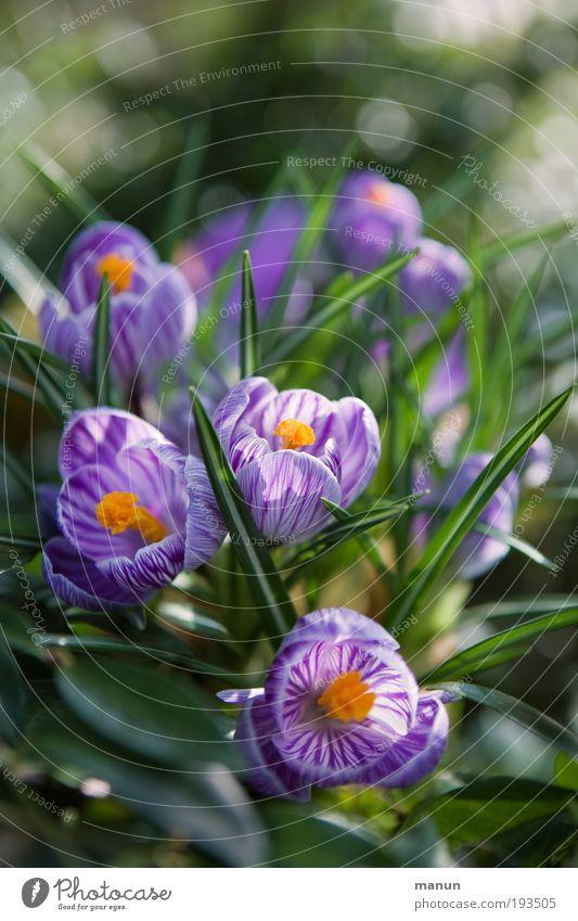 Krokusblüte Natur grün Farbe Blume Blatt Frühling Blüte Park leuchten frisch Fröhlichkeit Blühend Freundlichkeit violett Wohlgefühl Duft