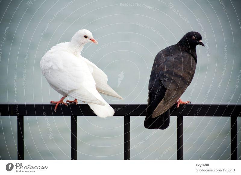 Ehestreit Tier Liebe See Konflikt & Streit Schwarzweißfoto Taube Gegenteil Vogel Eifersucht