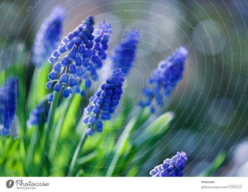 Traubenblau Natur blau ruhig Frühling Garten hell Park leuchten frisch Fröhlichkeit Lebensfreude Blühend Freundlichkeit Wohlgefühl Duft Leichtigkeit