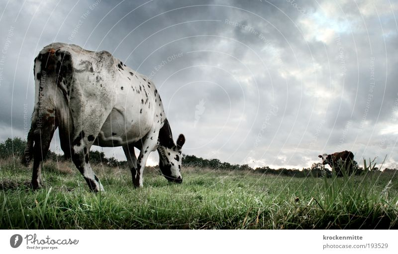 High Noon auf der Heide Natur grün Wolken Tier dunkel Ernährung Umwelt Landschaft Gras Regen Wetter bedrohlich Punkt Sturm Unwetter Kuh