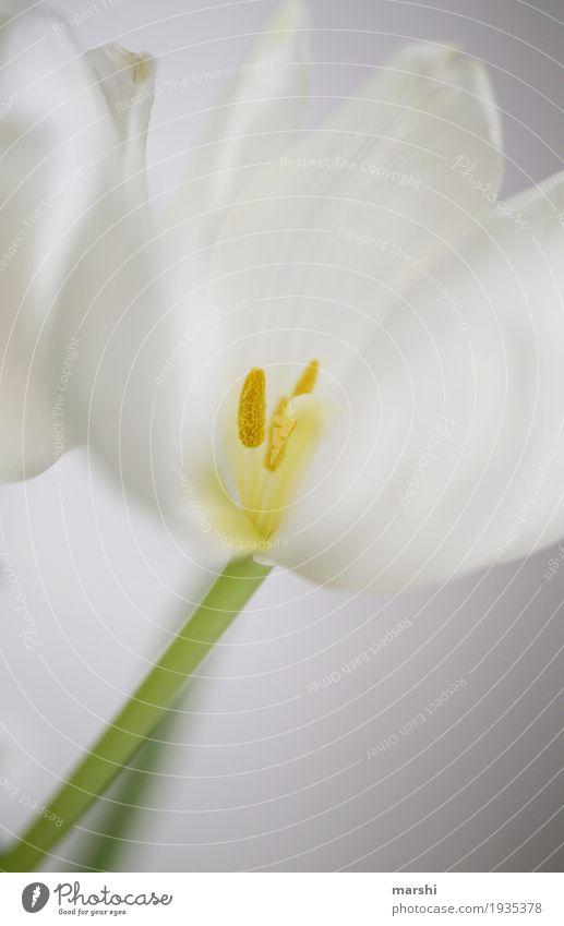 Vorfreude auf den Frühling Natur Pflanze Tulpe Garten Stimmung weiß Blume Blumenstrauß schön hell Farbfoto Nahaufnahme Detailaufnahme Makroaufnahme Menschenleer