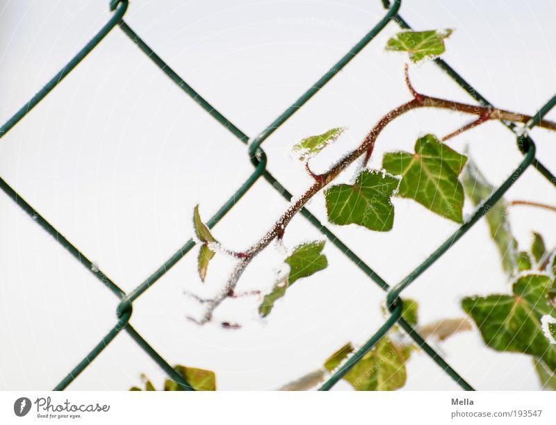 Durchsetzungsvermögen Natur weiß grün Pflanze Winter kalt Garten Umwelt Netzwerk Wachstum Zaun Ranke Efeu wickeln rebellisch Maschendraht