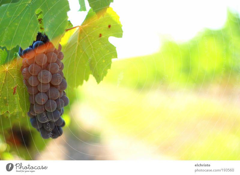 time to harvest Natur Sommer Blatt Warmherzigkeit Wachstum grün Wein Weintrauben Gamay Weinlese Rotwein rot gelb Farbfoto Außenaufnahme Textfreiraum rechts Tag
