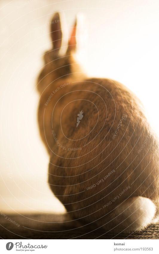 Ein schöner Rücken... ruhig Tier braun Beleuchtung Ostern sitzen Hinterteil Fell leuchten niedlich Wachsamkeit Hase & Kaninchen Haustier Schwanz