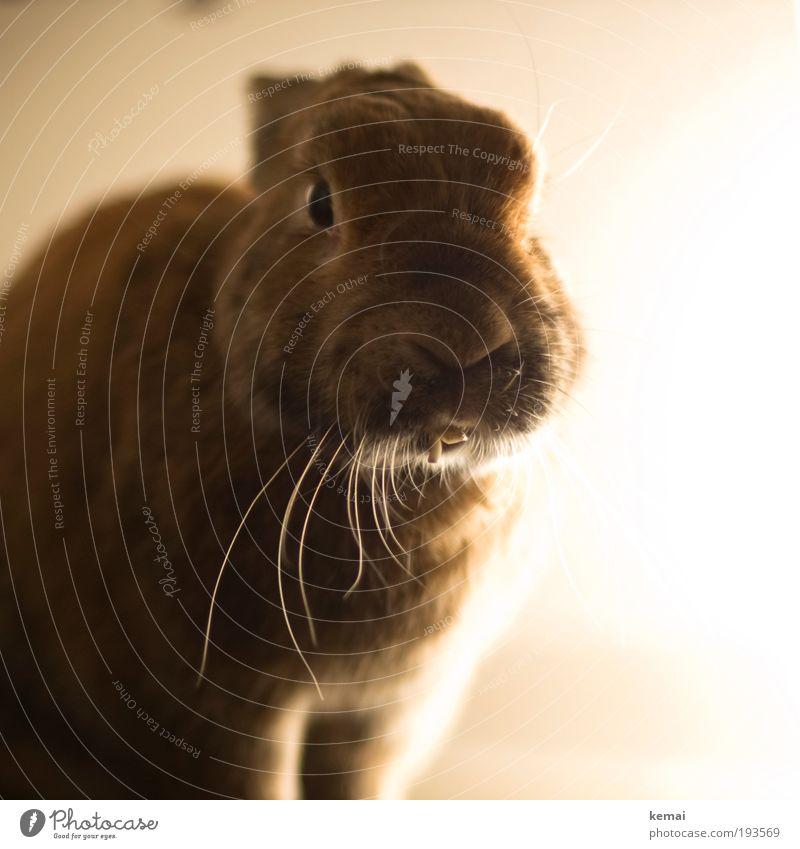 Bartwuchs vs. Zahnwuchs Tier Haustier Tiergesicht Fell Hase & Kaninchen Zwergkaninchen Zwerghase Wimpern Barthaare Schnurrbarthaare Gebiss Knopfauge 1 Licht