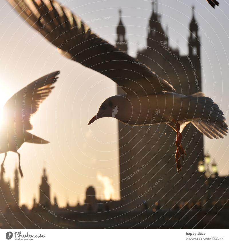 Beschwingt elegant Ferne Freiheit Sonne Sonnenaufgang Sonnenuntergang Sonnenlicht Schönes Wetter London Stadt Skyline Tier Vogel Flügel 2 Schwarm Bewegung