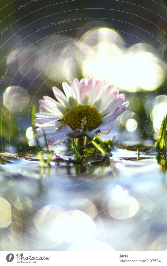 Gänseblümchen Natur Wasser schön Blume Pflanze ruhig Wiese Frühling Park Stimmung glänzend Umwelt Wassertropfen frisch Romantik Klima
