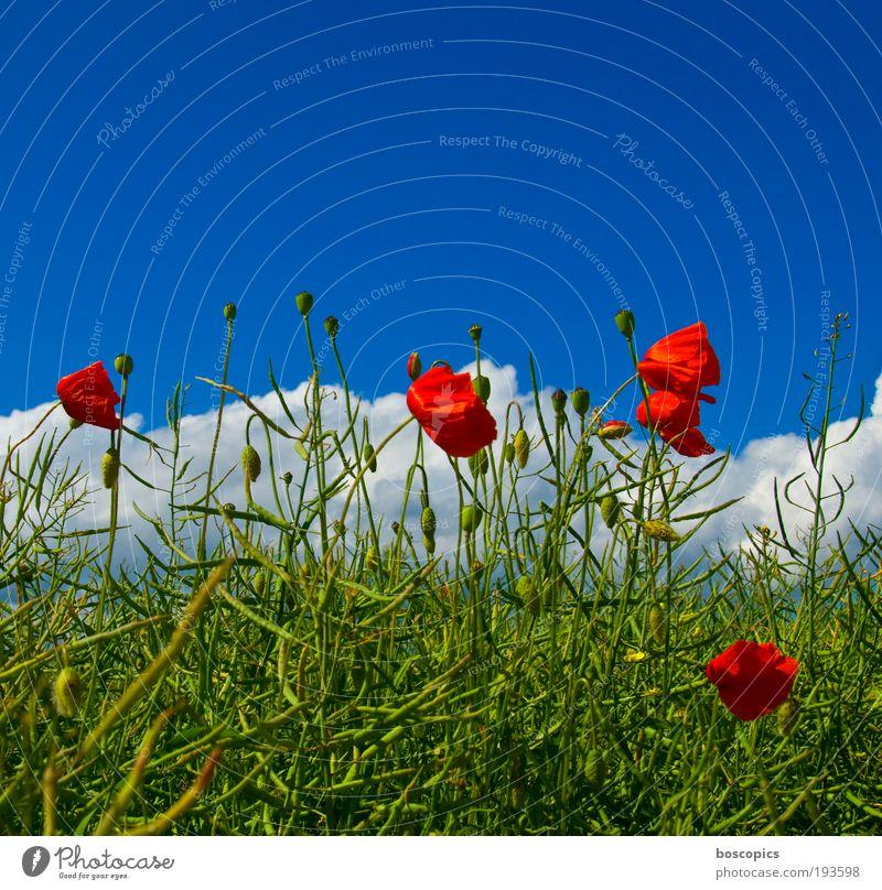 Klatschmohn Natur schön Himmel Baum grün blau Pflanze rot Sommer Blatt Wolken Leben Blüte Zufriedenheit Stimmung Feld