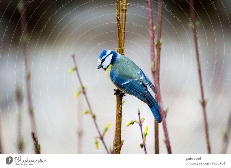 Blaumeise Natur blau schön weiß Tier Wald gelb Frühling Holz Freiheit braun Vogel fliegen wild Wildtier stehen
