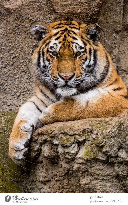 Tigerblick Tier Wildtier Katze Tiergesicht Zoo Stein Felsen Zeichen genießen hören Blick sitzen stehen Aggression sportlich außergewöhnlich Bekanntheit Coolness