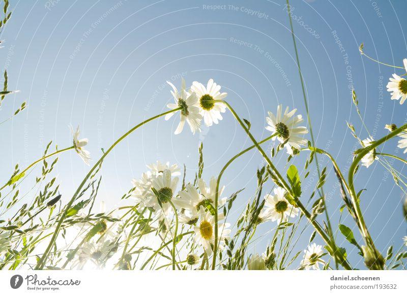 bit.it - Farben Natur schön weiß Sonne blau Pflanze Sommer Wiese Blüte Gras Frühling Blume hell Wetter Schönes Wetter Margerite