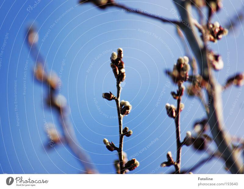 Da kommt er Umwelt Natur Pflanze Urelemente Luft Himmel Wolkenloser Himmel Frühling Klima Wetter Schönes Wetter Baum Park hell Wärme blau braun aufwachen