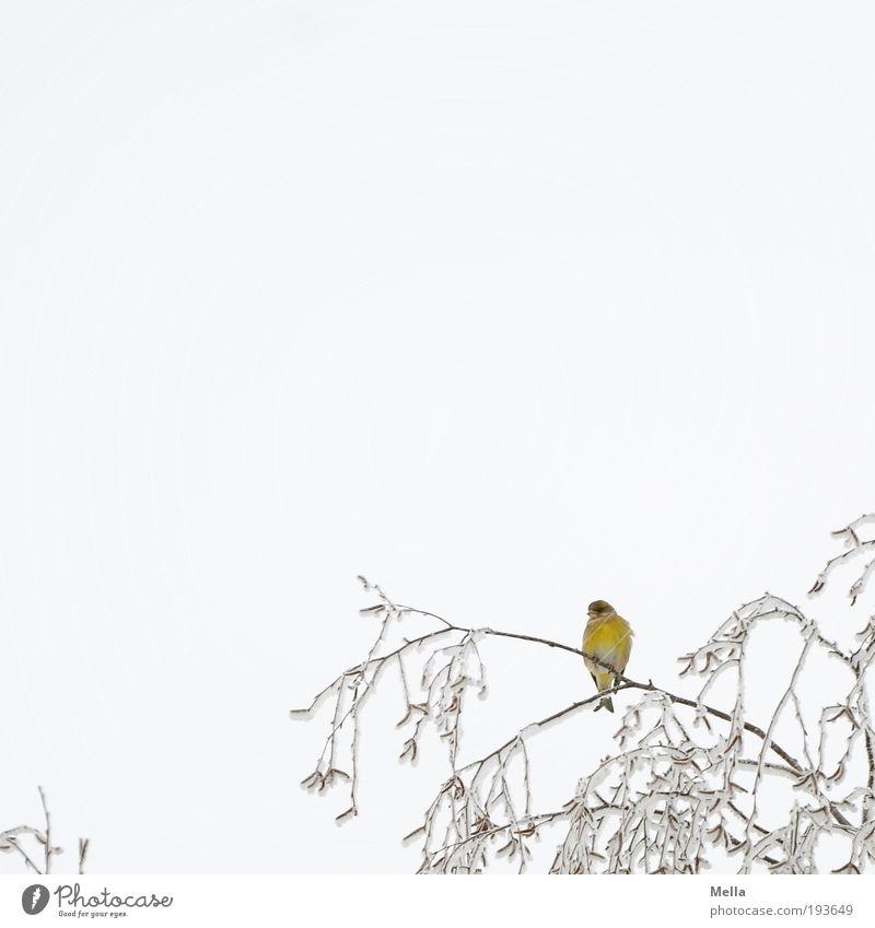 Gelb Umwelt Natur Pflanze Tier Himmel Winter Klima Klimawandel Eis Frost Schnee Baum Ast Baumkrone Vogel Fink 1 hocken sitzen frei hell kalt klein gelb weiß