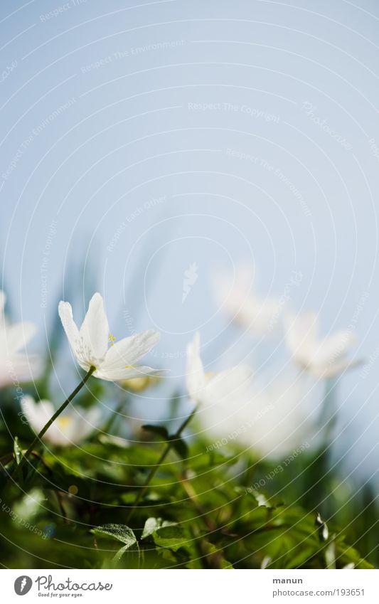 Nicht mehr lange... Sinnesorgane Erholung ruhig Duft Natur Himmel Frühling Schönes Wetter Blume Blüte Wildpflanze Frühlingsblume Buschwindröschen Frühblüher