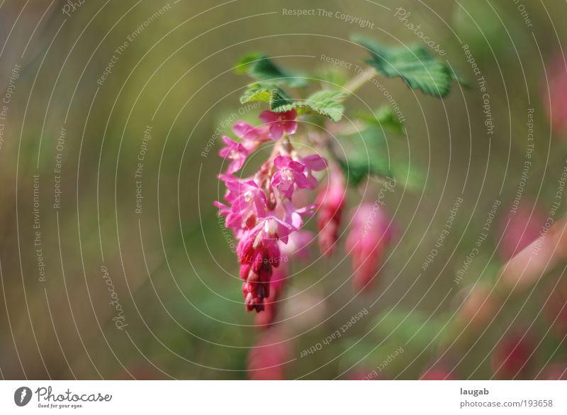 Imponieren Natur grün Pflanze Sommer Freude Umwelt Glück Blüte Frühling Stimmung Zufriedenheit Kraft rosa glänzend Energie Erfolg