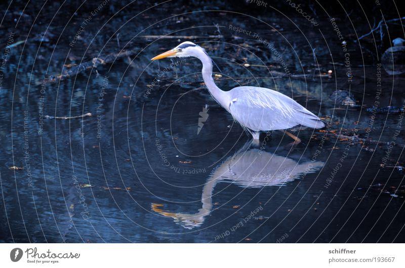beinlos Umwelt Natur Tier Wasser Teich See Vogel Geschwindigkeit Nahrungssuche Suche schreiten ruhig Reiher Graureiher Silberreiher Reflexion & Spiegelung