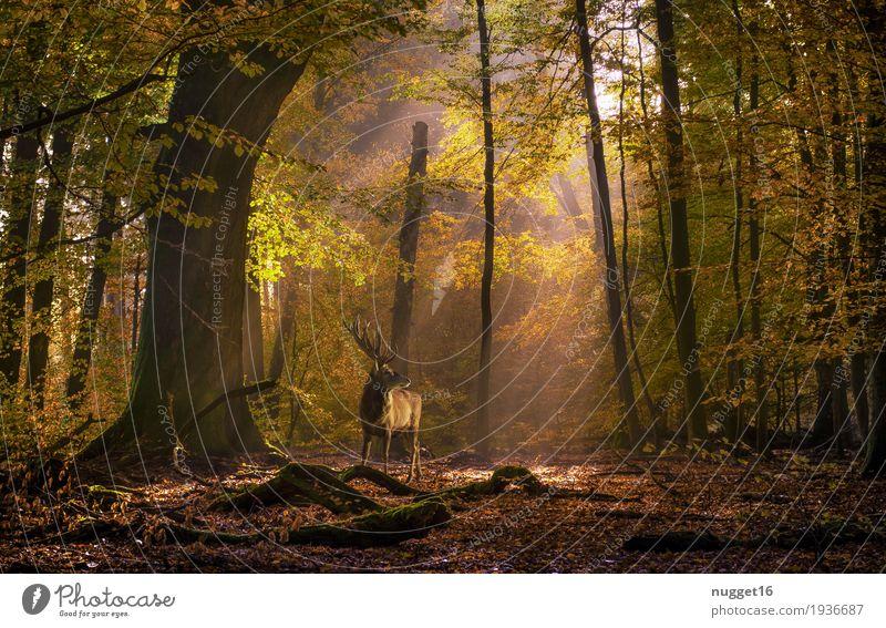 Hirsch auf der Lichtung Umwelt Natur Landschaft Pflanze Tier Sonnenaufgang Sonnenuntergang Sonnenlicht Sommer Herbst Schönes Wetter Baum Sträucher Park Wald