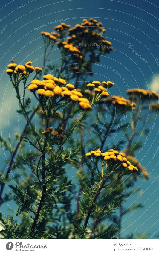 himmelwärts Natur Himmel Blume grün blau Pflanze Sommer Blatt gelb Wiese Blüte Frühling Kraft Umwelt frisch Wachstum