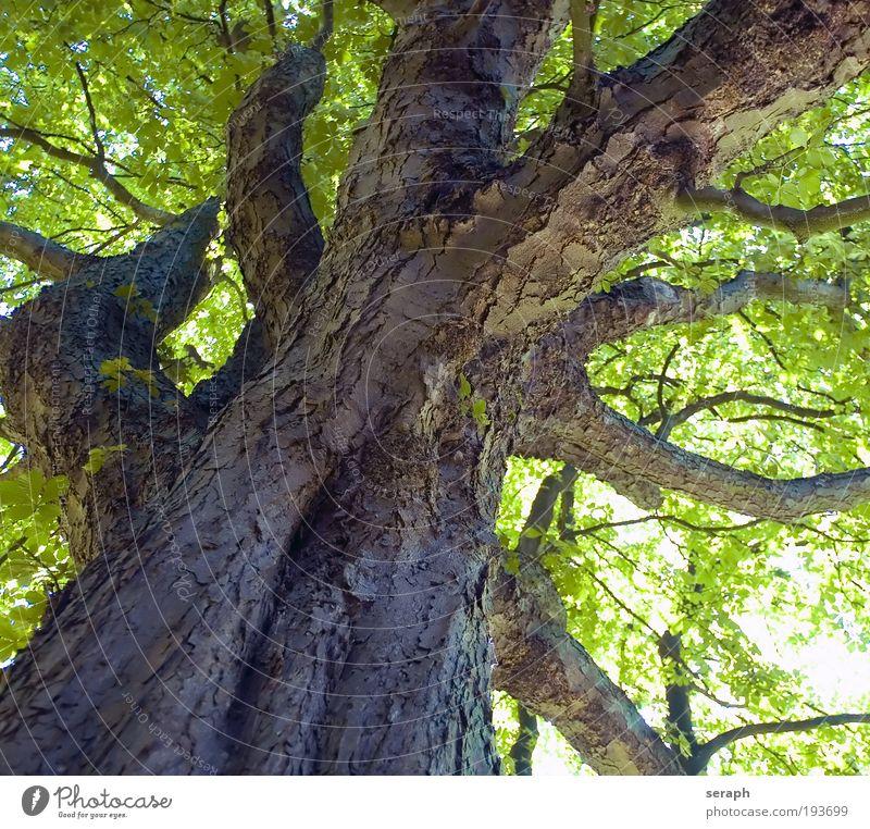 Oiolaire Wachstum Blatt Blätterdach Natur Netzwerk Vernetzung friedlich Pflanze pflanzlich Wald Holz Robinie Baumstamm filigran Baumkrone Ast Geäst Baumrinde