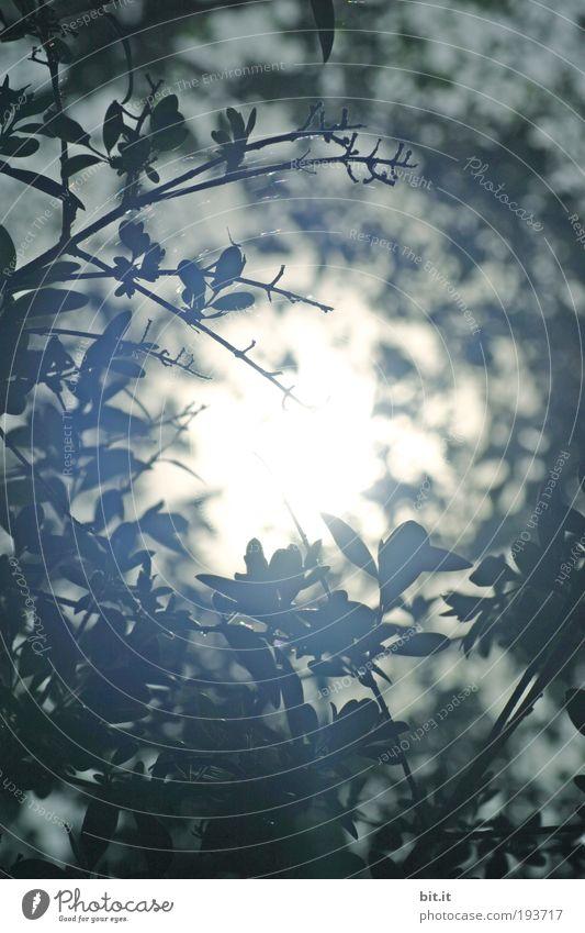 ASTLOCH Umwelt Natur Pflanze Sonne Schönes Wetter Sträucher Blatt Grünpflanze heiß hell oben rund blau weiß Glaube Mitte Loch leuchten Ast Lichteinfall