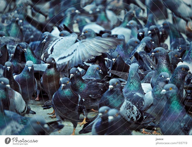 Vogelperspektive blau Vogel Zusammensein Flügel Tiergruppe eng chaotisch bizarr durcheinander Taube Tier Fressen Aggression füttern