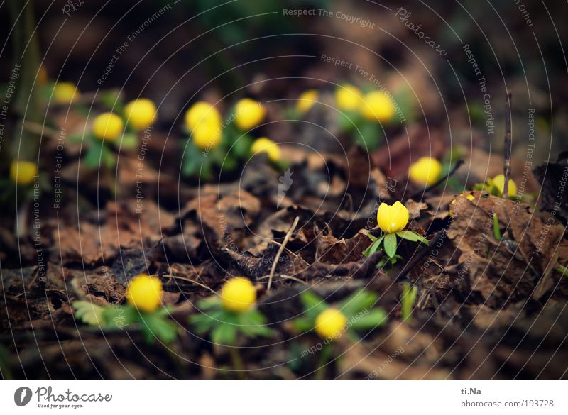 ich hab den Frühling gesehen Umwelt Natur Landschaft Tier Pflanze Blume Blatt Blüte Blühend braun gelb Farbfoto Gedeckte Farben Außenaufnahme Nahaufnahme