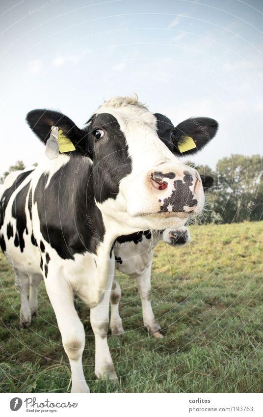 Wie wär's denn mit uns beiden ?? blau weiß schön Tier schwarz Auge Wiese Glück Tierpaar groß Coolness beobachten Neugier Freundlichkeit Landwirtschaft Vertrauen