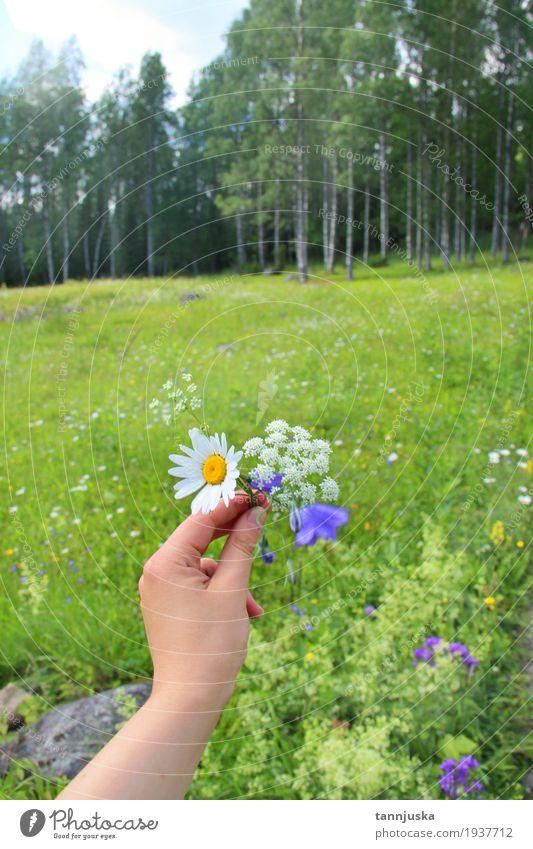 Hand mit Wildflowers von Finnland, Nord-Karelien Mensch Frau Himmel Natur Jugendliche Pflanze blau Sommer grün schön Baum Landschaft Blume Blatt Wolken