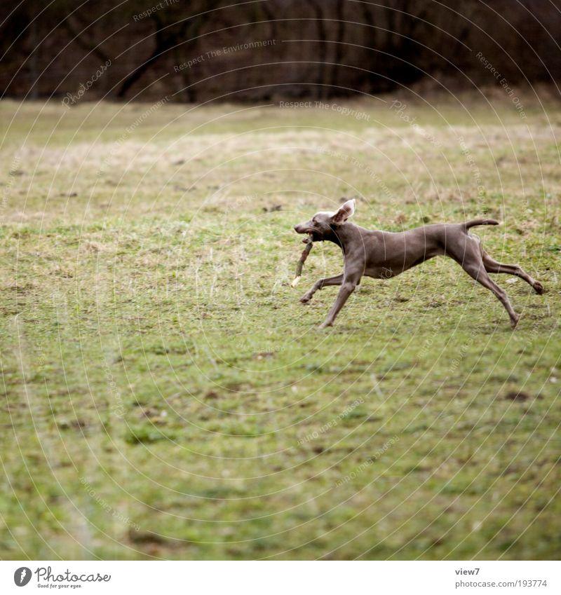 Fliehkraft Umwelt Natur Erde Winter Gras Sträucher Tier Haustier Hund 1 rennen Bewegung festhalten Jagd laufen Spielen toben dünn Gesundheit sportlich braun