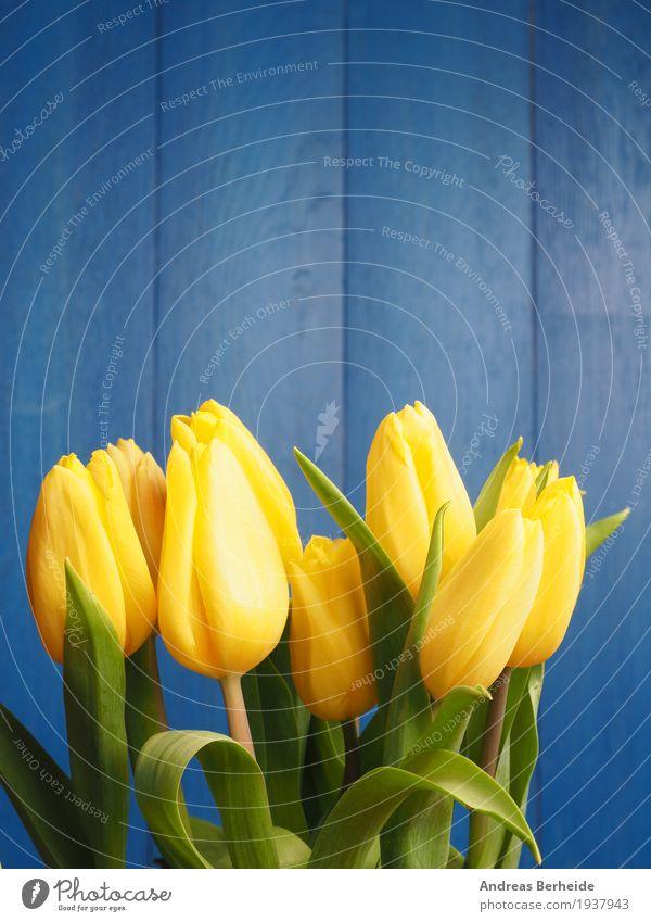 Gelbe Tulpen Muttertag Ostern Natur Pflanze Frühling Blume Blumenstrauß Duft schön blau gelb decoration table natural copy green march flower holiday