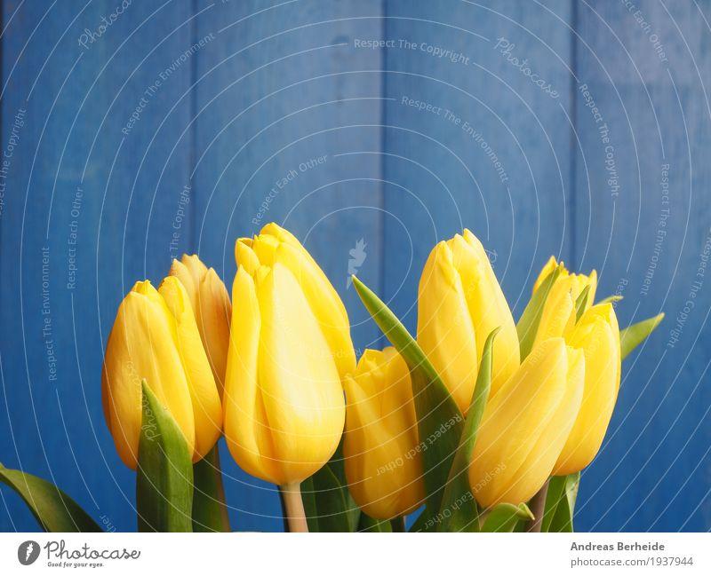 Gelbe Tulpen vor blau Natur Pflanze Blumenstrauß Liebe springen gelb Easter Hintergrundbild beautiful blossom blue celebration copy copyspace decoration flower