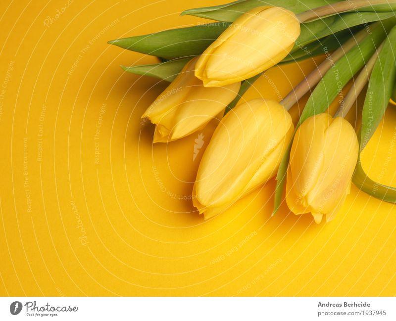 Vier gelbe Tuplen Natur Pflanze schön Blume Liebe Frühling Hintergrundbild Blumenstrauß Duft Tulpe