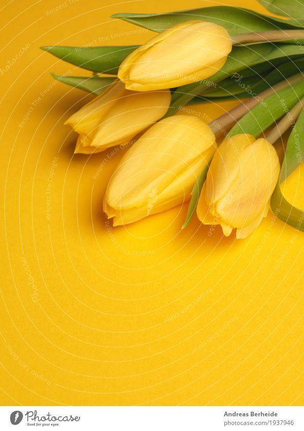 Gelbe Tulpen auf gelb Natur Pflanze schön Blume Liebe Frühling Hintergrundbild Blumenstrauß Duft