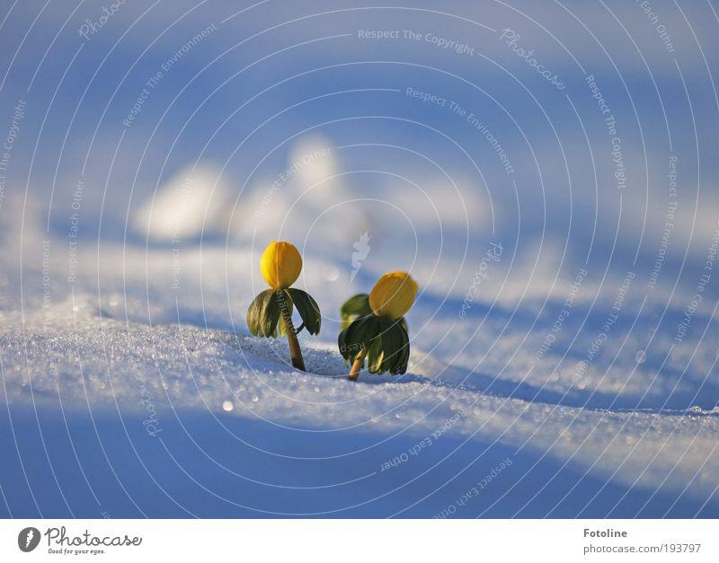 Winterlinge Umwelt Natur Landschaft Pflanze Urelemente Erde Wasser Frühling Klima Klimawandel Wetter Schönes Wetter Eis Frost Schnee Blume Garten Park Coolness