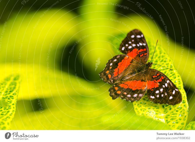 Gemeiner Tigerschmetterling, der zum grünen Blatt kontrastiert Natur Farbe schön Blume rot Umwelt gelb Liebe natürlich Garten Freiheit Erde fliegen Kindheit