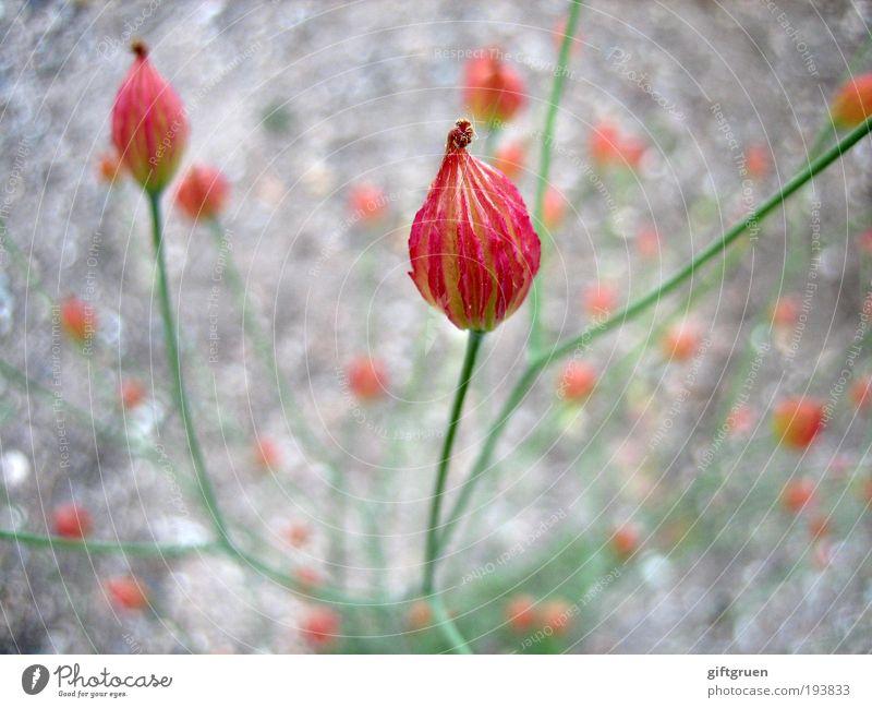 drama queen Natur grün schön Pflanze rot Blume Blüte ästhetisch Fröhlichkeit Wachstum außergewöhnlich Spitze geheimnisvoll Blühend Duft exotisch