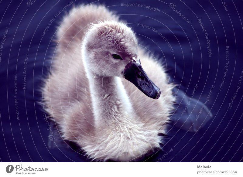 Schwanenbaby Natur blau weiß schön Tier See Stimmung Tierjunges Zufriedenheit Schwimmen & Baden Hoffnung Vogel niedlich beobachten Neugier Idylle