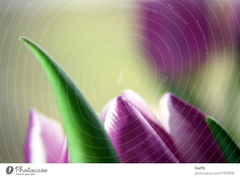 Tulpenzeit Natur Pflanze schön weiß Blume Blüte Frühling natürlich elegant Beginn Spitze Romantik weich Jahreszeiten Postkarte violett