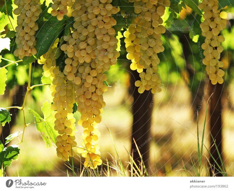Hmmmmmmm! Natur Pflanze Sommer Blatt Umwelt Landschaft Gras hell Wetter Feld Frucht Klima süß Sträucher rund Wein