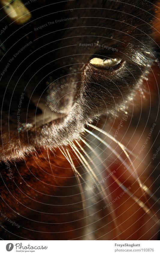 träumende schnurrhaare Haustier Katze Tiergesicht 1 genießen außergewöhnlich elegant schön Neugier niedlich braun grün Mut Warmherzigkeit Tierliebe Müdigkeit