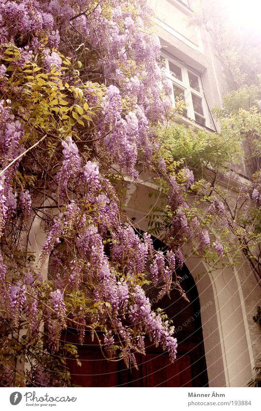 Oh, Sendling! weiß grün Pflanze Blume Haus Fenster Wand grau Blüte Gebäude Mauer braun Tür Fassade violett München