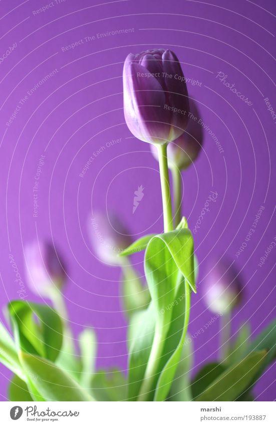 lila Pause Natur Pflanze Blume Tulpe Blatt Blüte frisch schön grün violett Tulpenblüte Licht Blumenstrauß Freude Farbfoto Unschärfe Schwache Tiefenschärfe