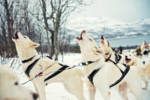Heulende Husky vor der winterlichen Schlittenfahrt Natur Hund blau weiß Freude Winter Schnee Sport hell wandern Wildtier Tiergruppe Abenteuer