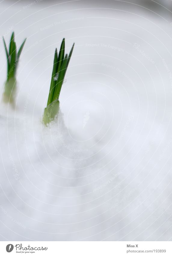 Durchbruch!!!! Natur Blume Winter Blatt kalt Schnee Wiese Gras Frühling Garten Park Eis klein Umwelt Beginn