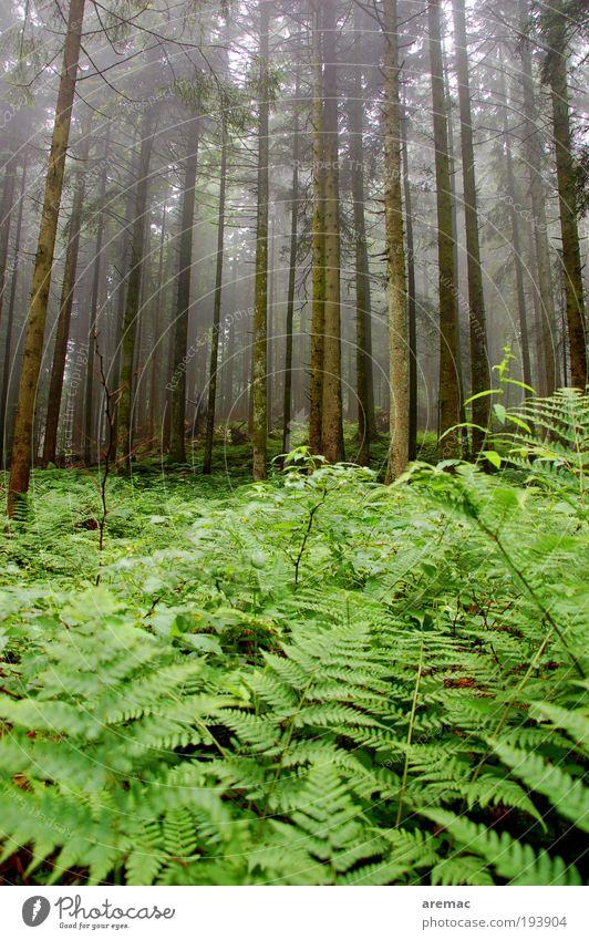Farnwald Umwelt Natur Landschaft Pflanze schlechtes Wetter Nebel Regen Baum Wald dunkel grün ruhig Farbfoto Außenaufnahme Morgen Tag