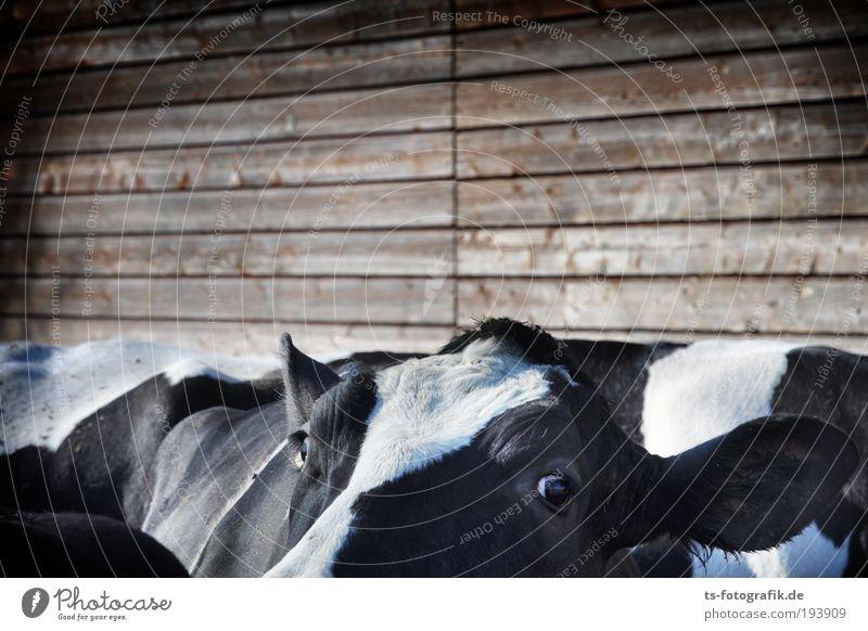 Neugier am Nachmittag Ernährung Landwirtschaft Milchkuh Auge Ohr Rücken Holz Stall Umwelt Tier Nutztier Kuh Tiergesicht Fell 4 Tiergruppe Herde frech braun
