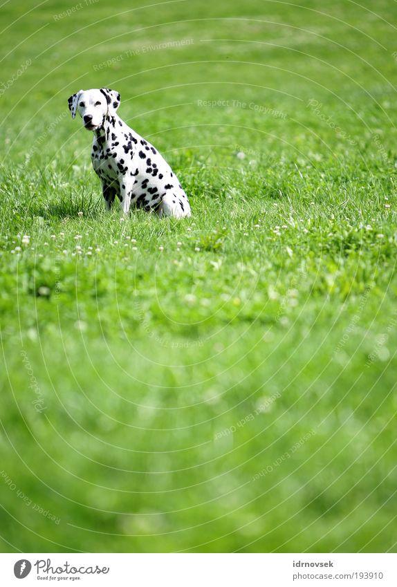 Dalmatiner im Grünen Natur Sonnenlicht Sommer Schönes Wetter Park Wiese Tier Haustier Hund 1 Blick sitzen warten frei Freundlichkeit natürlich positiv grün