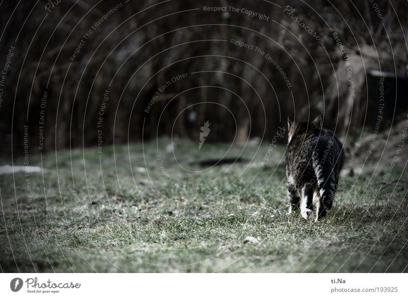 auf leisen Sohlen Umwelt Natur Landschaft Pflanze Tier Gras Sträucher Garten Wiese Haustier Wildtier Katze Fell Krallen Pfote 1 Bewegung Jagd laufen Wachstum